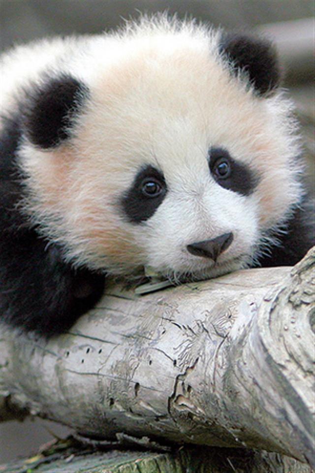 Baby Panda Bear 2 Animal iPhone Wallpapers iPhone 5s4s3G 640x960