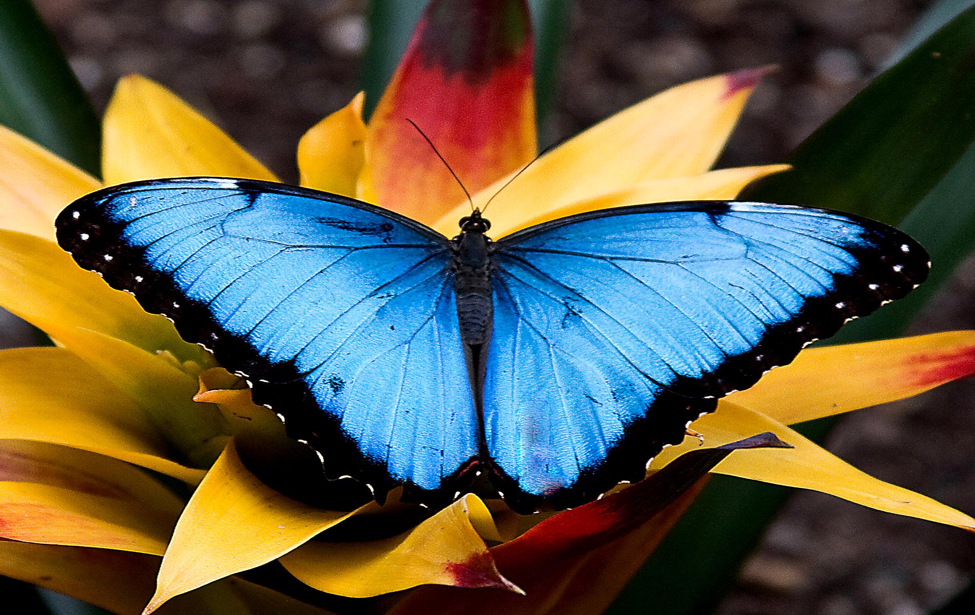 Butterfly 3d butterfly wallpapers for desktop Fine HD 1900x1200