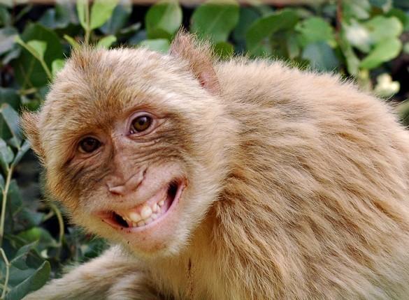 Monkey Screensaver 585x430