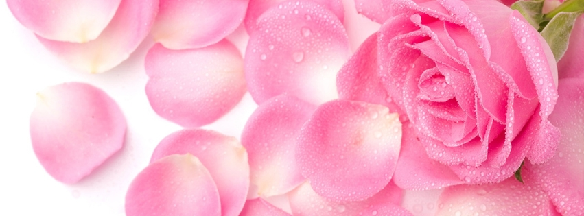 Red Roses Facebook Cover Apps Directories 851x315