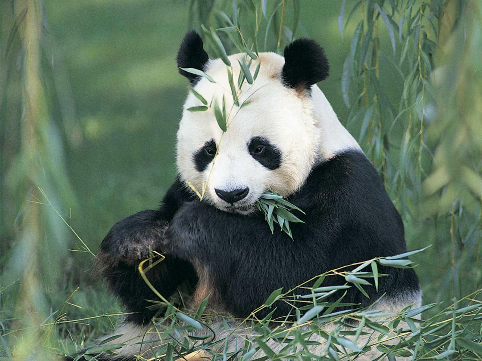 Pandas Sweet Panda 1600x1200