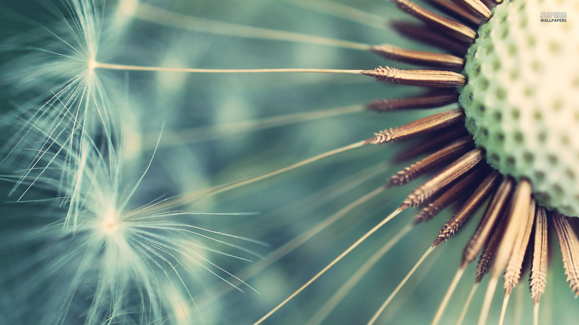 Dandelion wallpaper | 1920x1080 | #38076