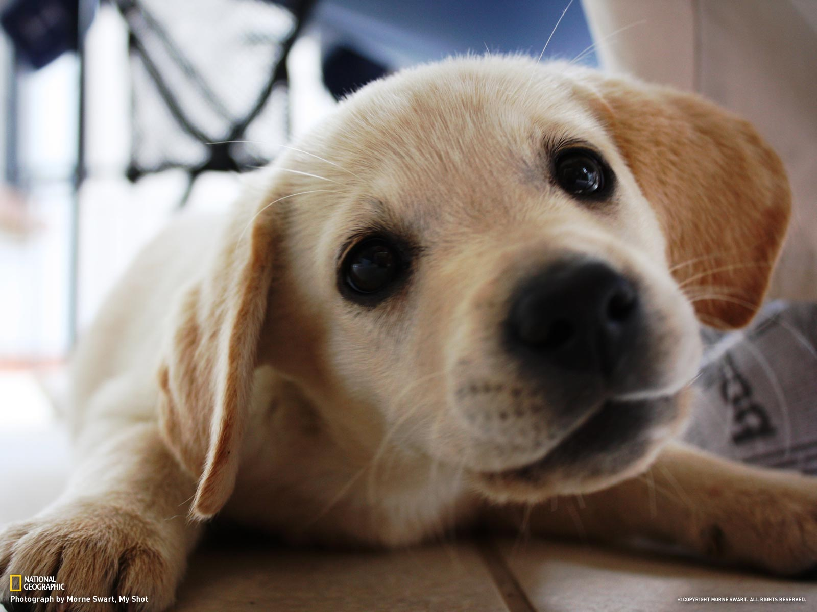 Images Of Lab Puppies Golden lab puppy 1600x1200