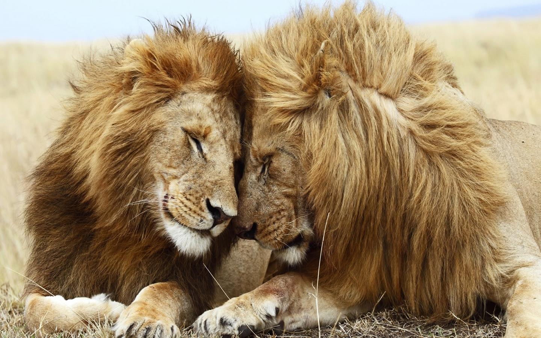 Animal Wallpapers Lions Pair 944 1920x1080 pixel Exotic Wallpaper 1440x900