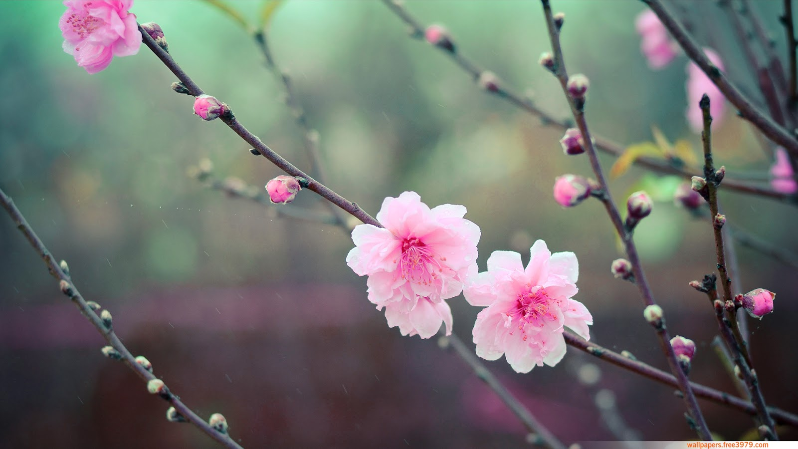 Free Download Japanese Cherry Blossom Wallpaper For Walls Viewing Gallery 1600x900 For Your Desktop Mobile Tablet Explore 67 Cherry Blossom Wallpapers Cherry Blossom Wallpaper For Walls Anime Cherry Blossom Wallpaper