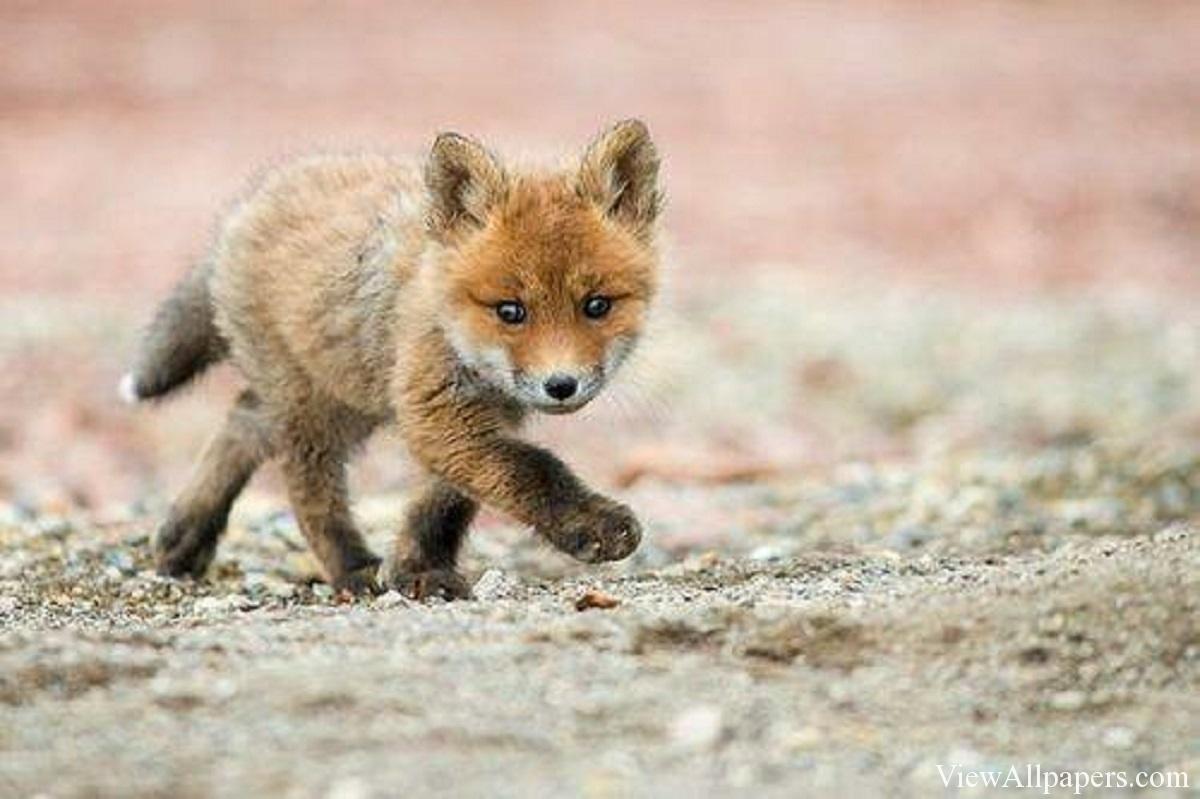 Animal Planet Baby Fox Walking High Resolution download Animal 1200x799