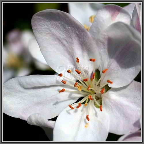 Apple Blossom Wallpapers Wallpaper Bonzy 500x500