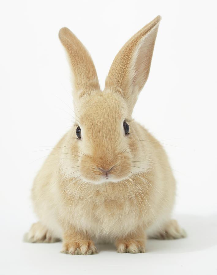 Beige Bunny Rabbit On White Background Photograph by American 709x900