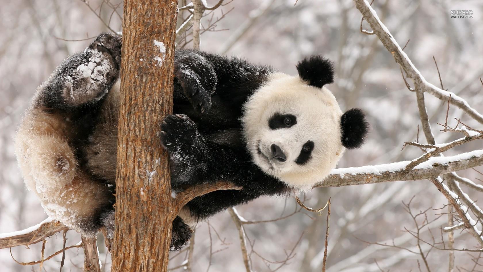 Cute Panda Baby Background Hd Wallpaper 1680x945 pixel Animal HD 1680x945