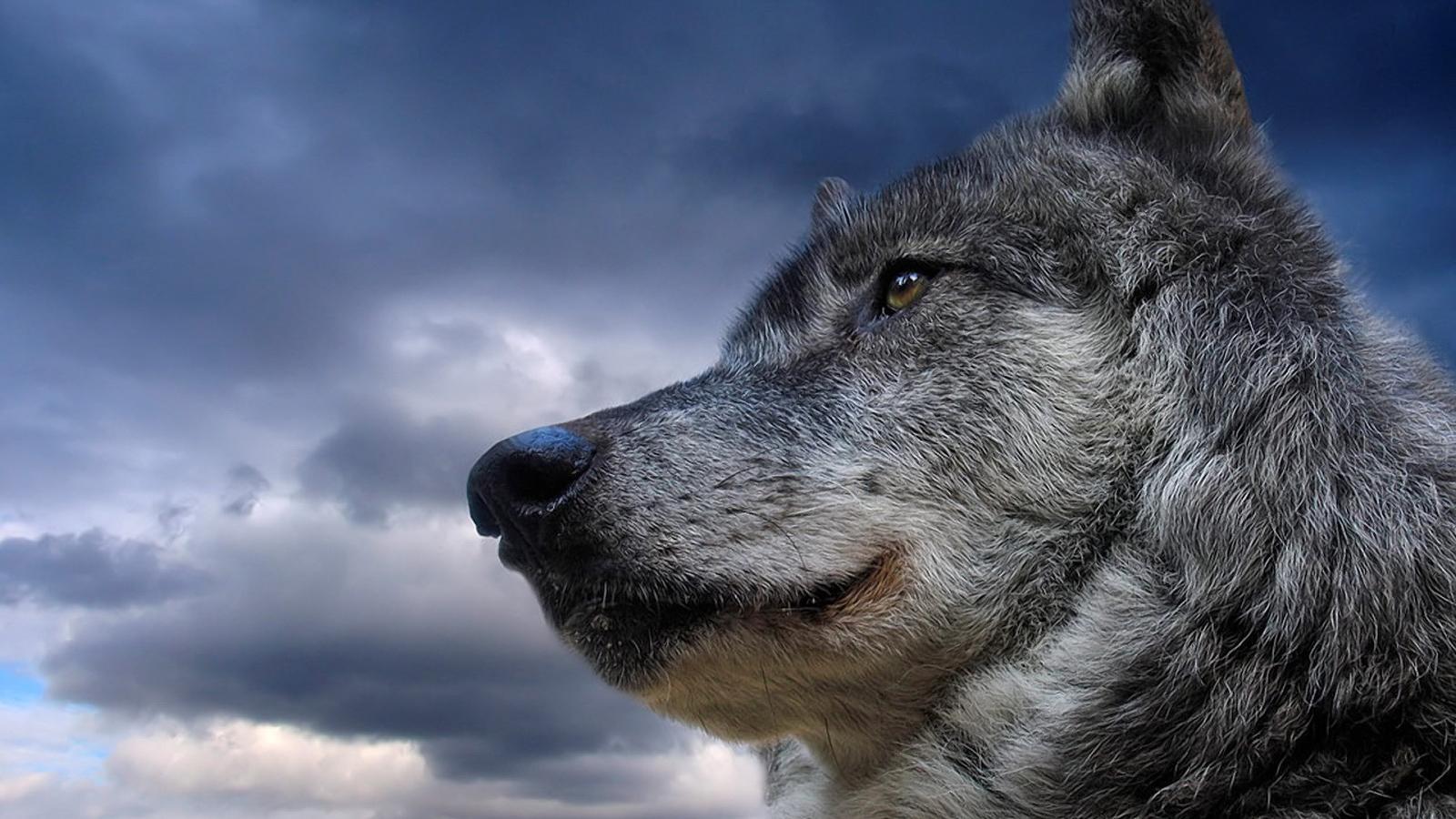 Hd wolf live wallpaper 1600x900