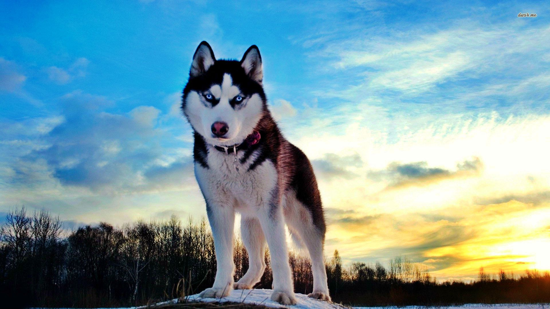 cool husky wallpapers - wallpapersafari