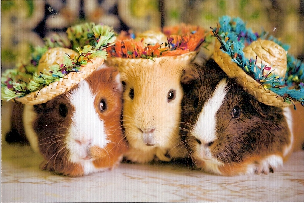 Adorable Stylish Guinea Pigs 1194x798