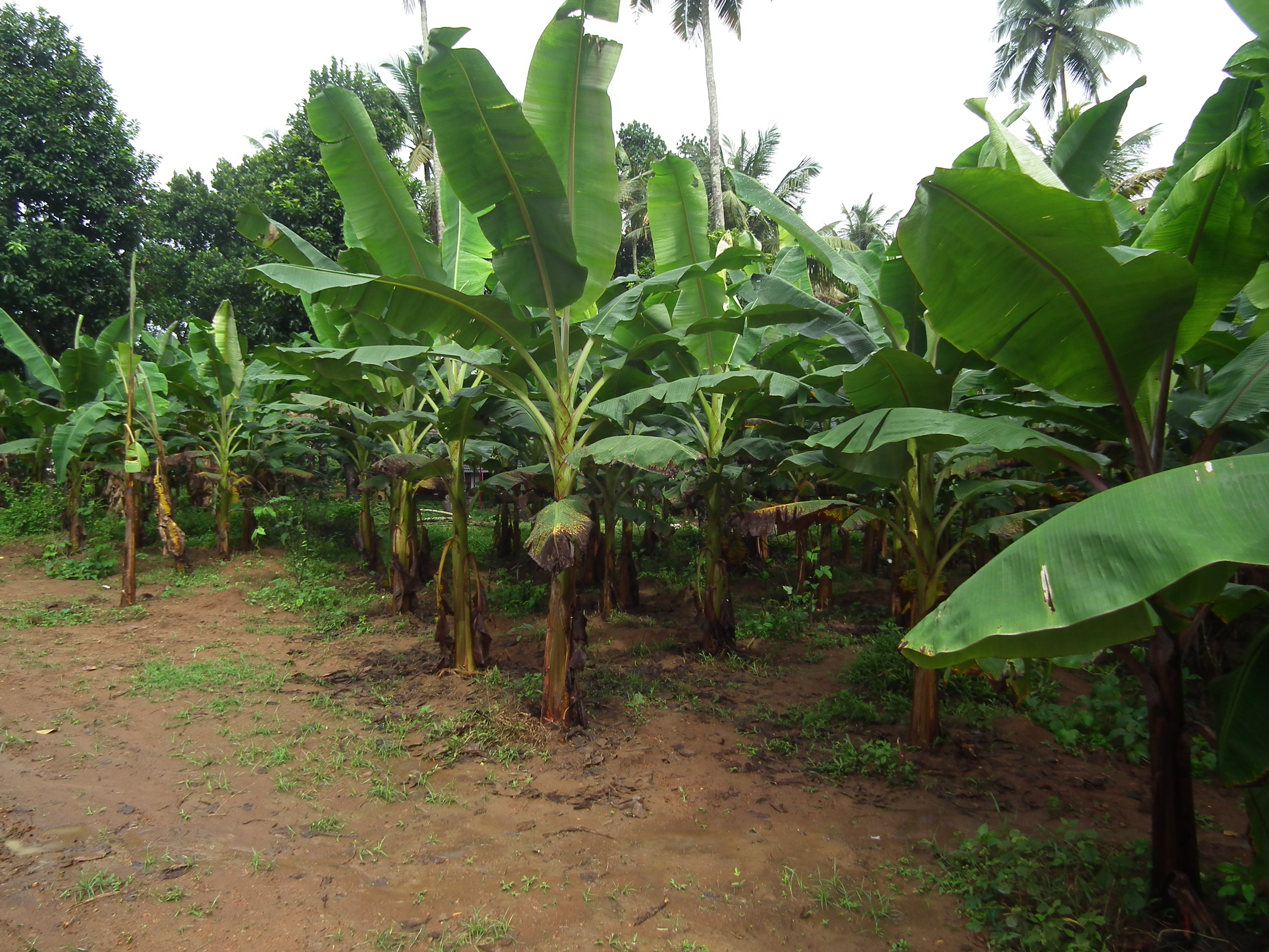 Related Article Banana Tree Pictures 3648x2736