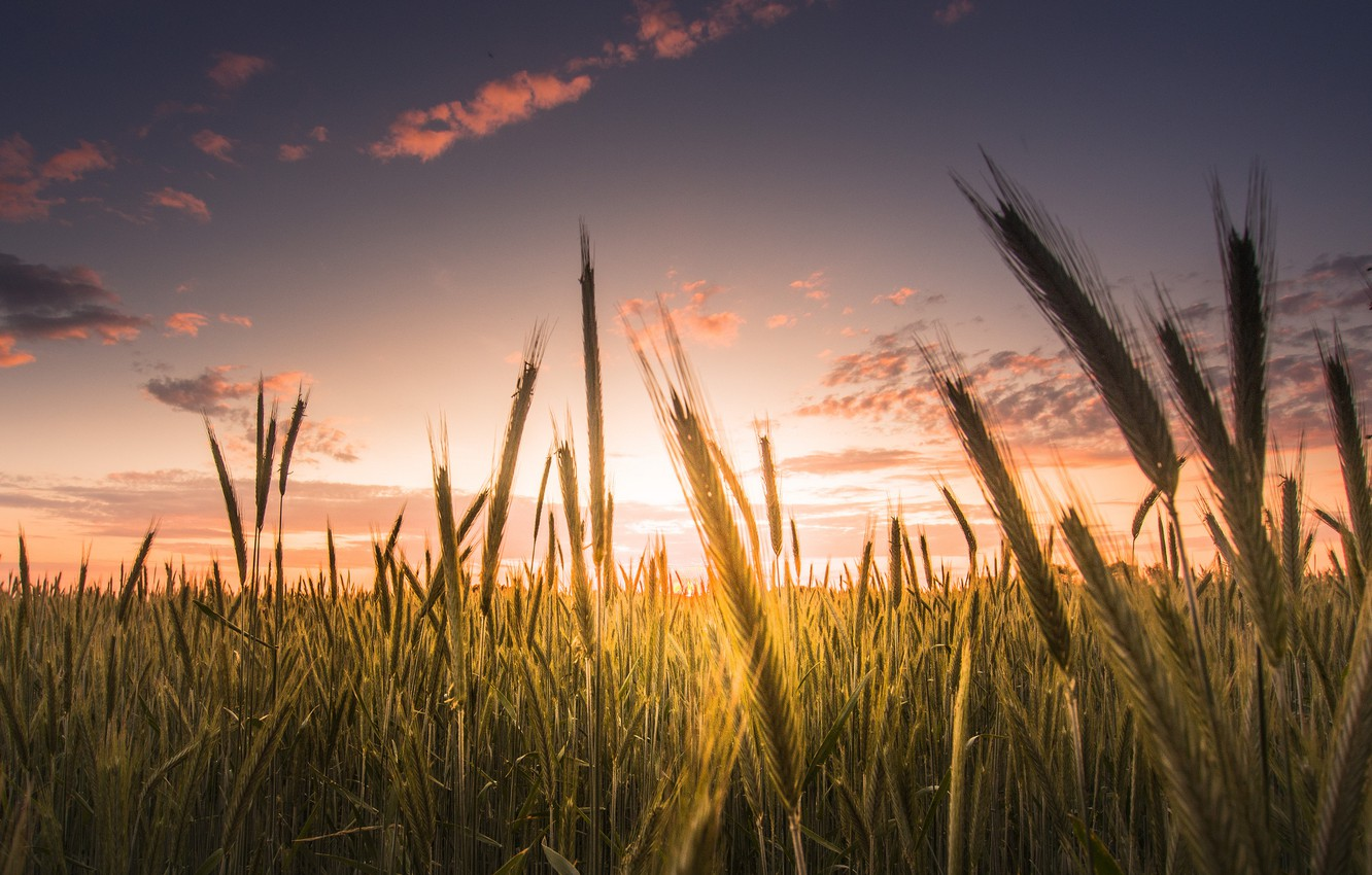 Wallpaper wheat field the sky clouds macro background 1332x850