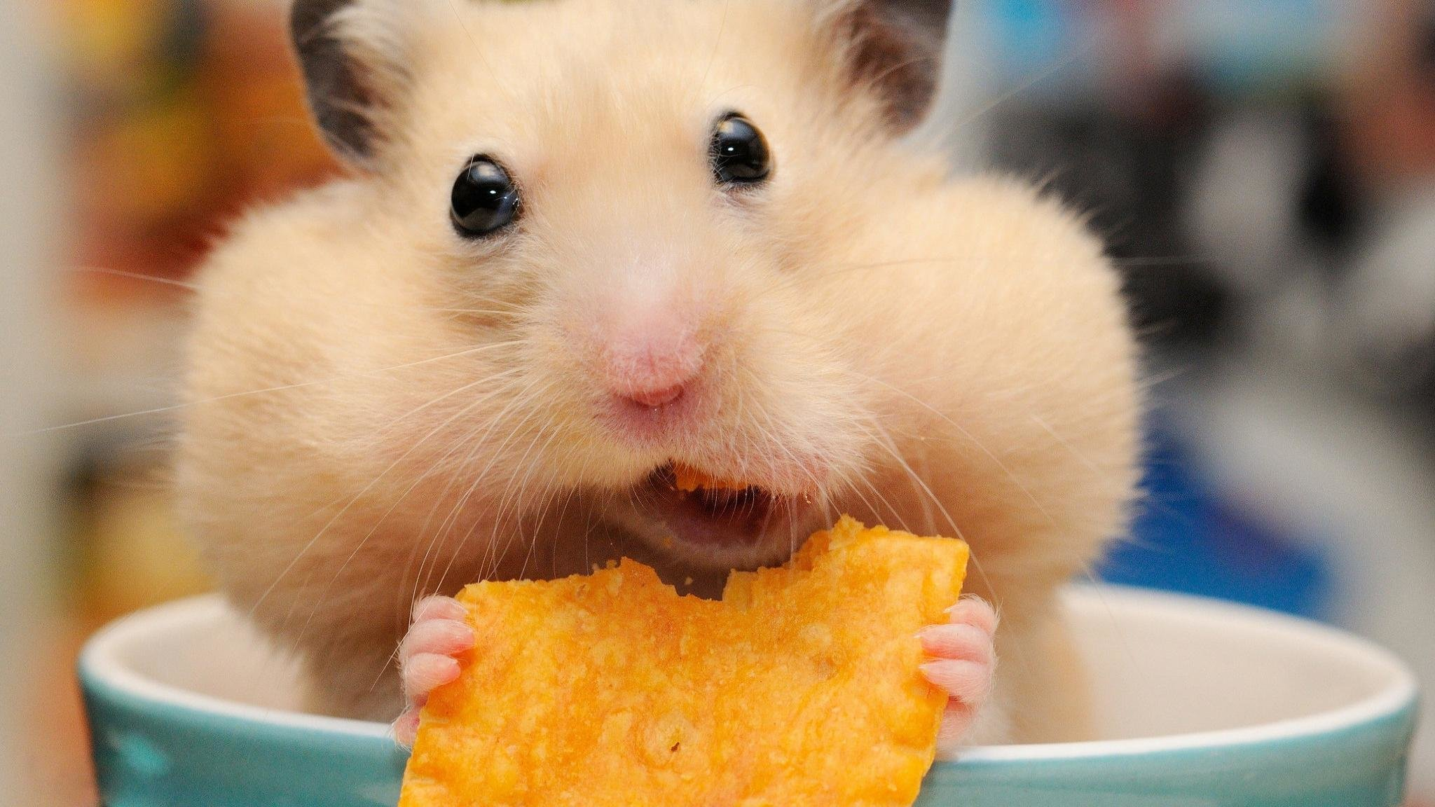 download Hamster background ID234059 hd 2048x1152 for computer 2048x1152