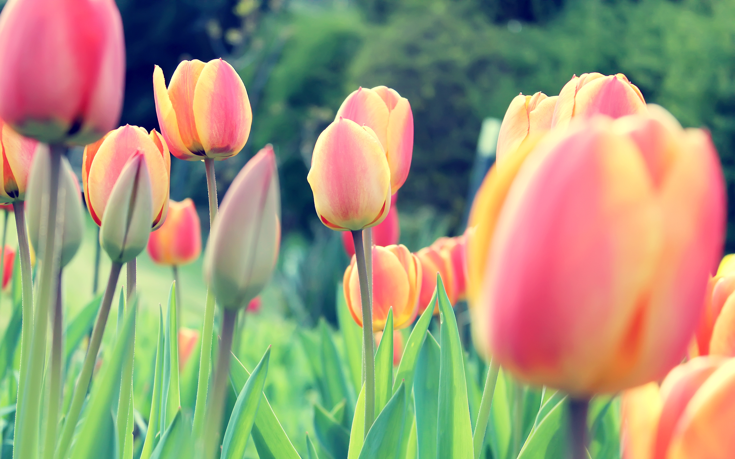 Easter Tulips Wallpapers HD Wallpapers 2560x1600