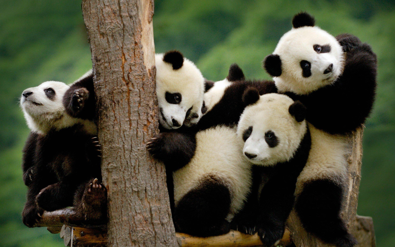 Panda pandas baer bears baby cute 3 wallpaper 2880x1800 364431 2880x1800