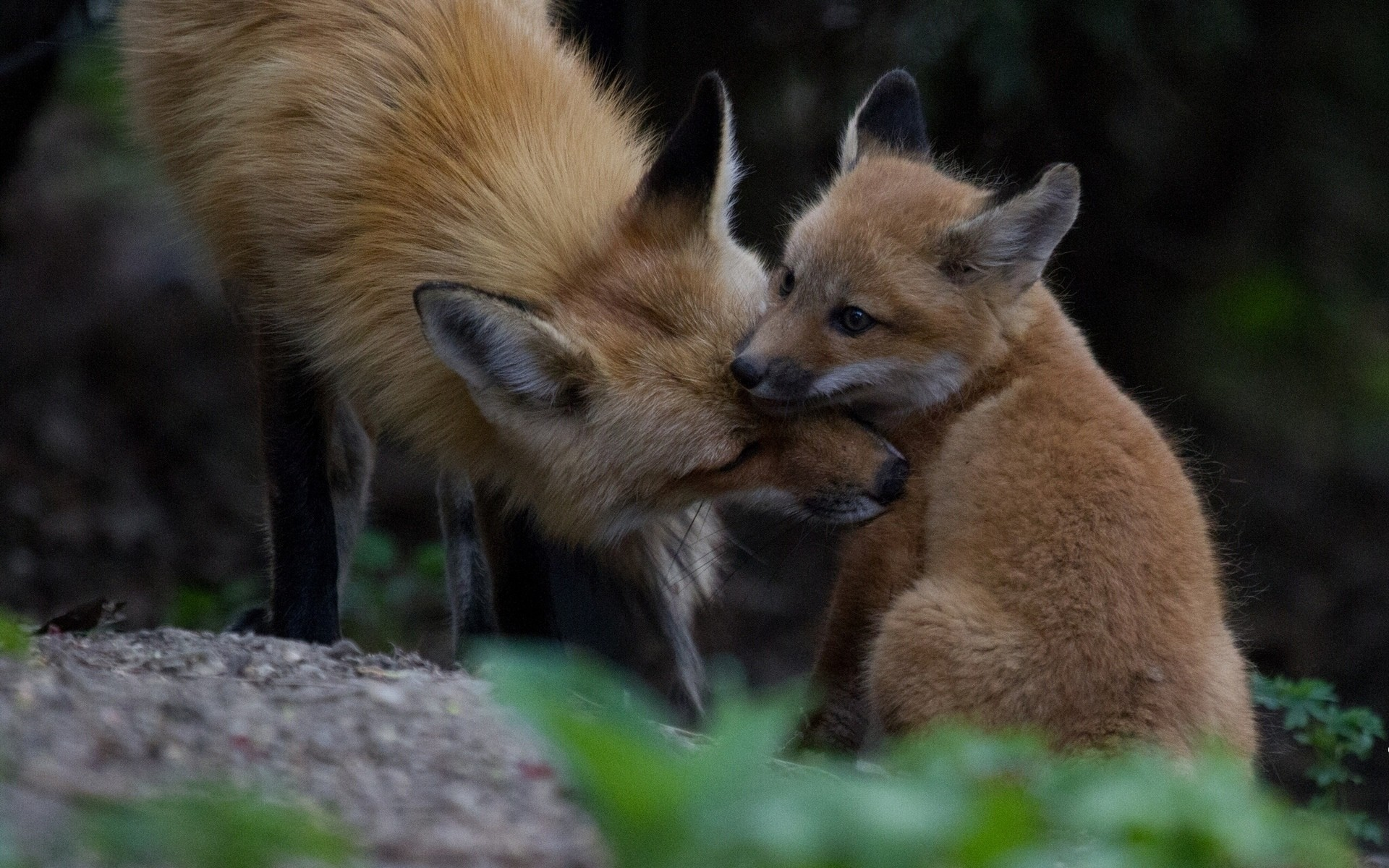 Baby Foxes Wallpaper Wallpapersafari