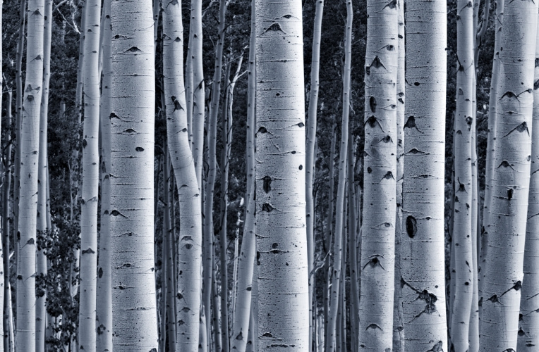 Birch woods wallpaper wallpapersafari for Tree wallpaper for walls
