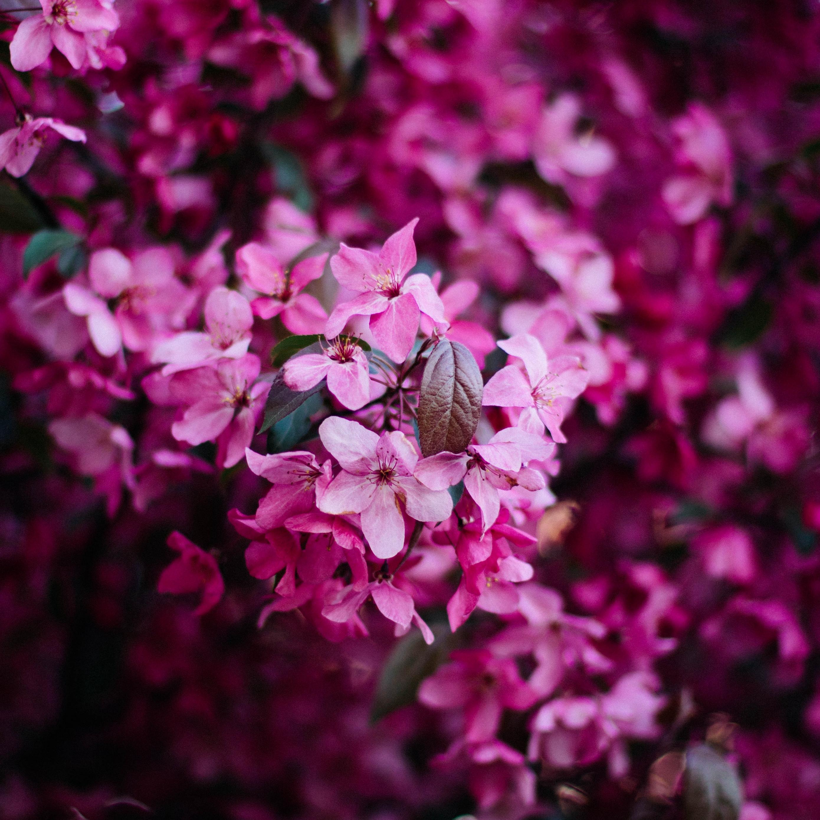 Download wallpaper 2780x2780 flowers bloom pink bush branch 2780x2780