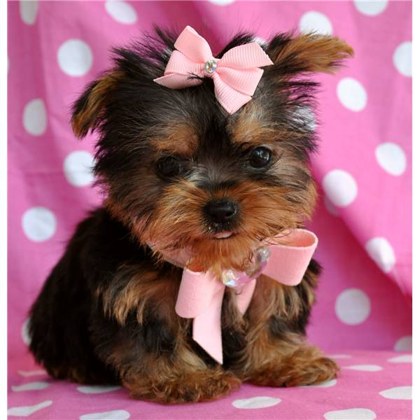 teacup yorkie puppies for adoption nice baby face teacup yorkie 600x600