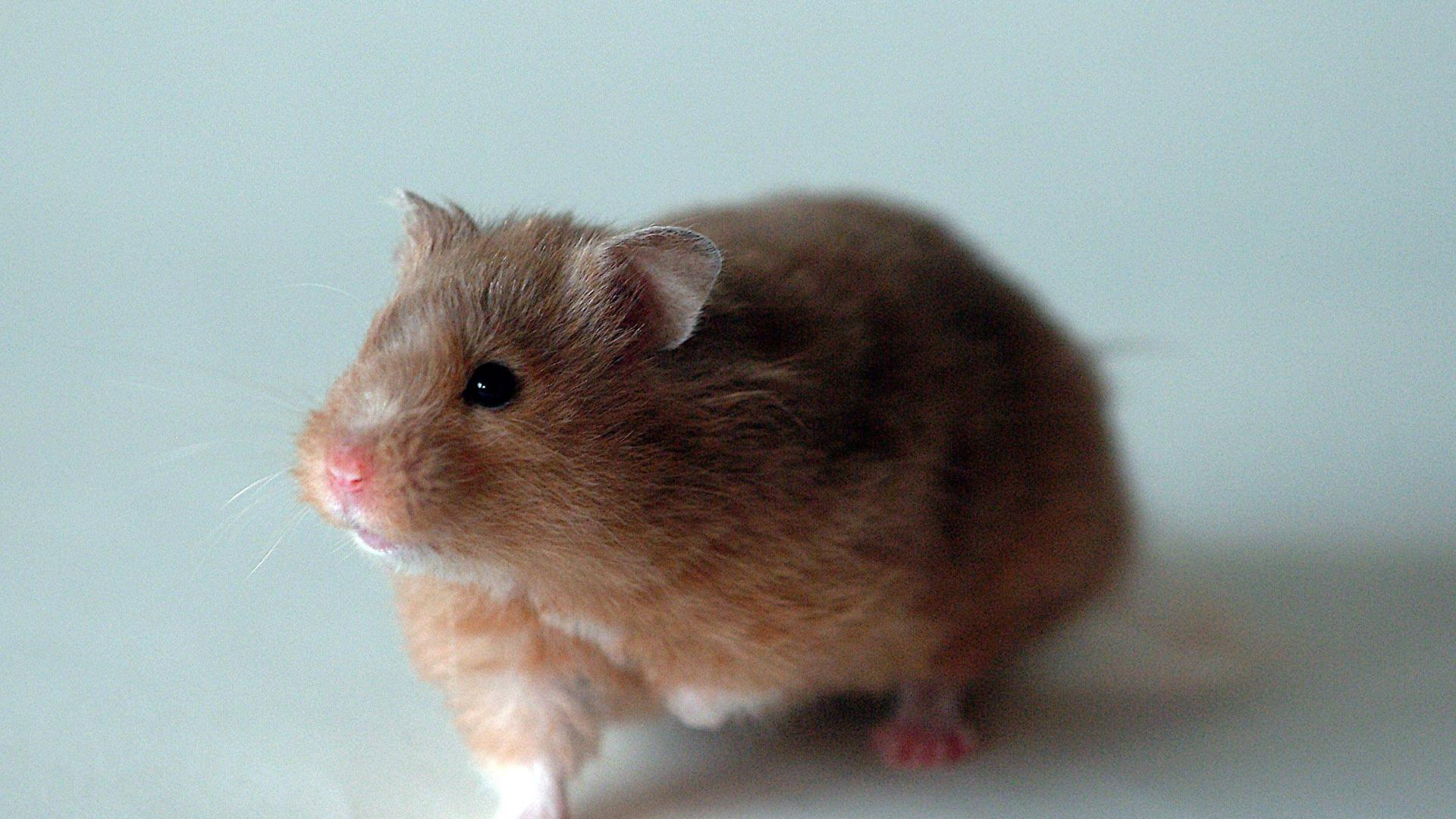 hamster wallpaper   1175   High Quality and Resolution Wallpapers 1920x1080
