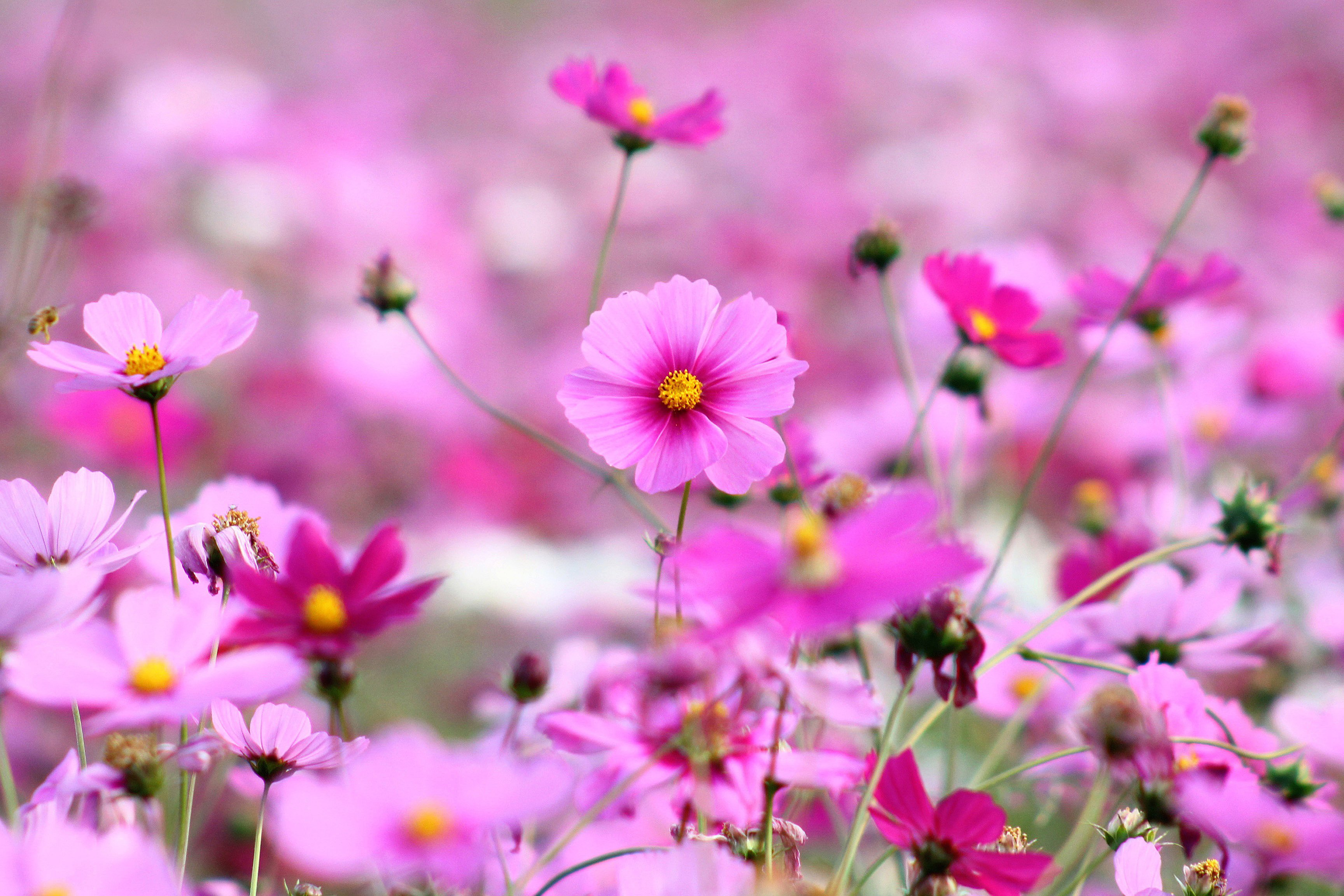 Pink Little Flowers Wallpapers   3456x2304   1831486 3456x2304