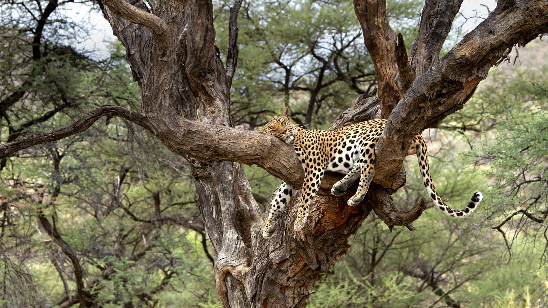 Leopard Namibia Bing Wallpaper Download 1920x1080