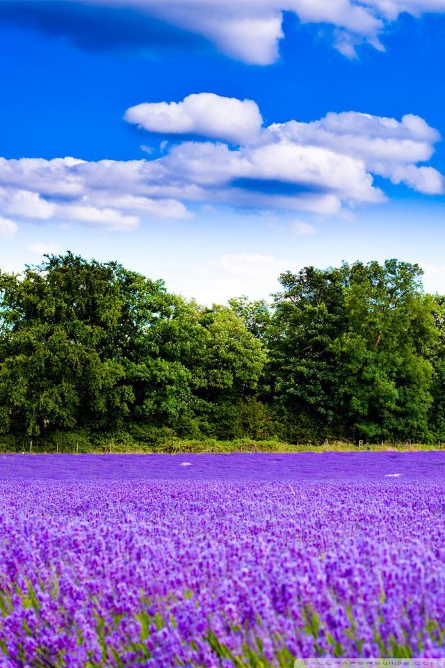 V22 3036 kbytes Farm lavender field mob HD 640x960
