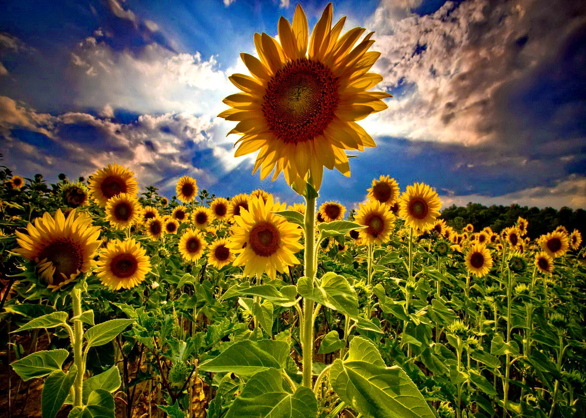 Field Of Sunflowers Wallpapers 1920x1371