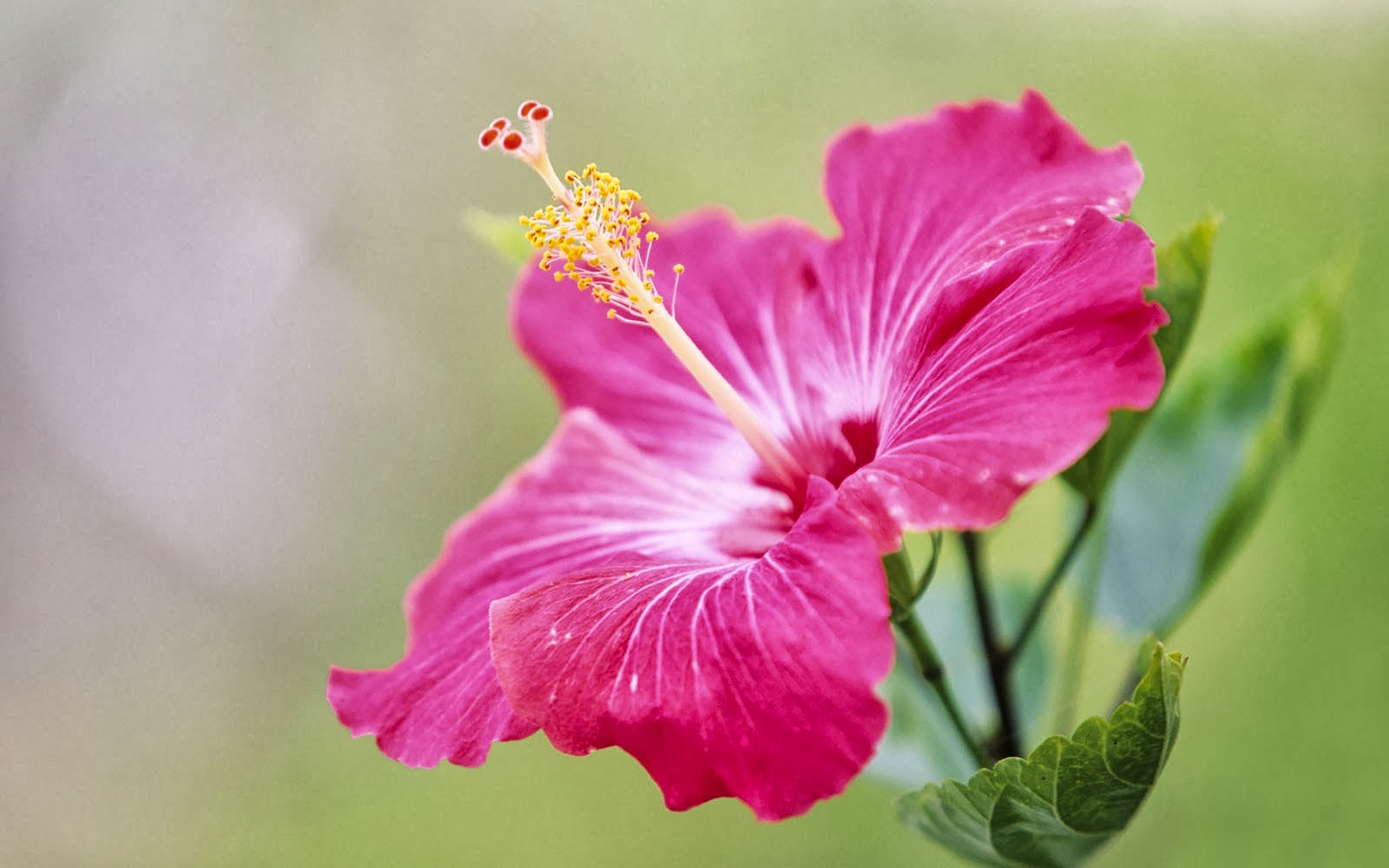 tag pink hibiscus flower - photo #1