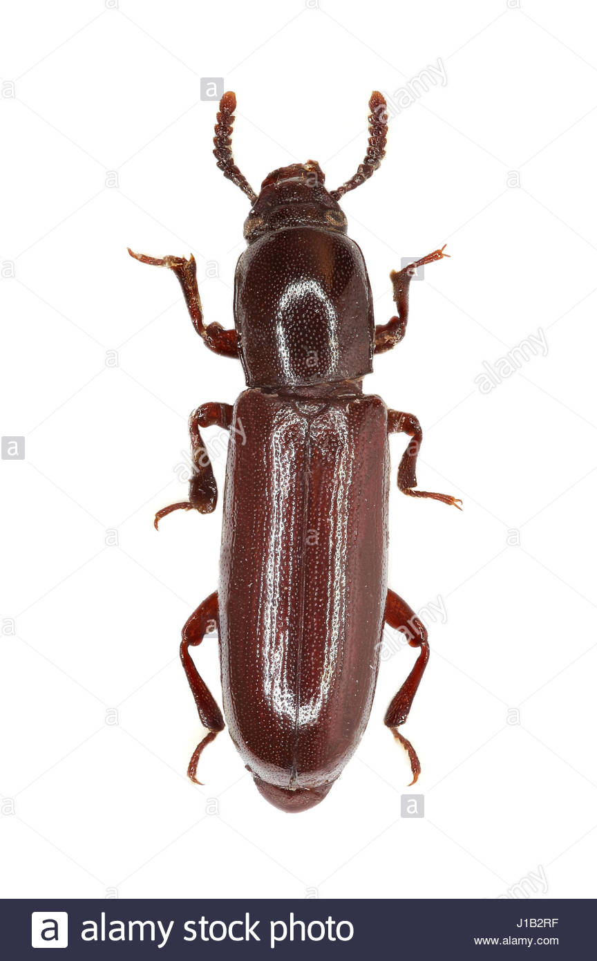 Darkling Beetle Corticeus on white Background   Corticeus unicolor 864x1390