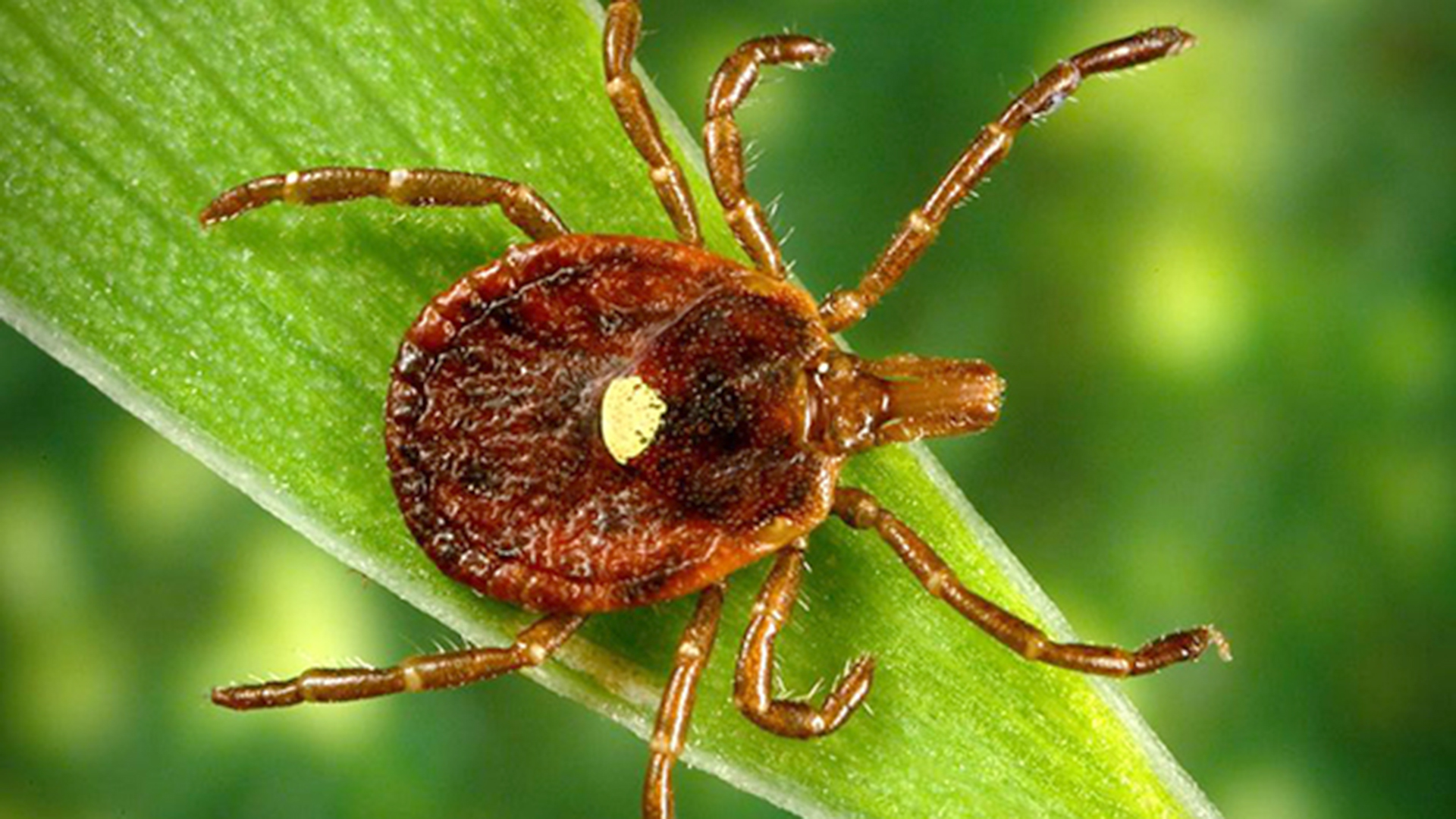 What is alpha gal allergy Lone star tick bites can cause red meat 1920x1080