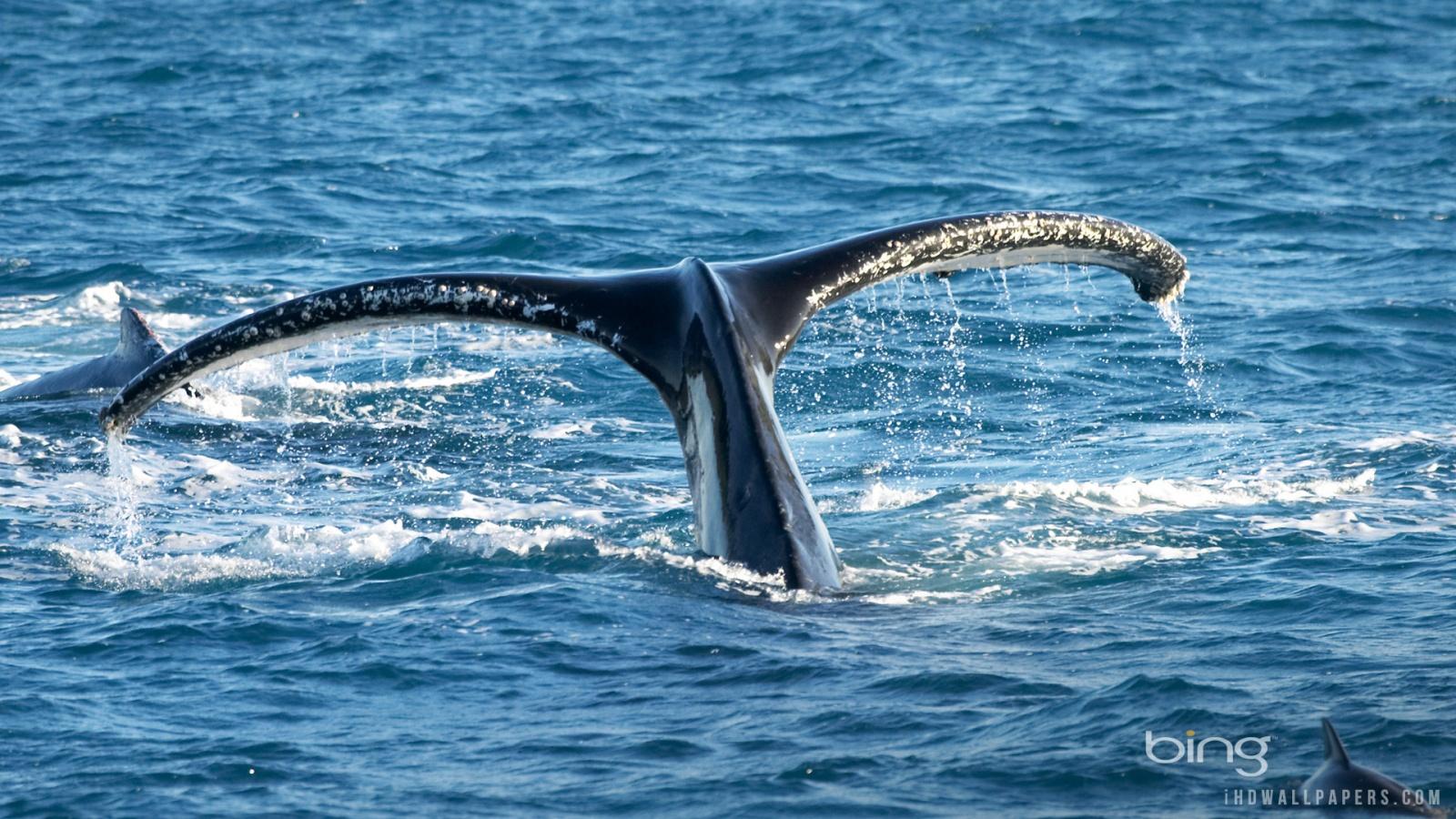 Humpback whale Wallpaper 1600x900