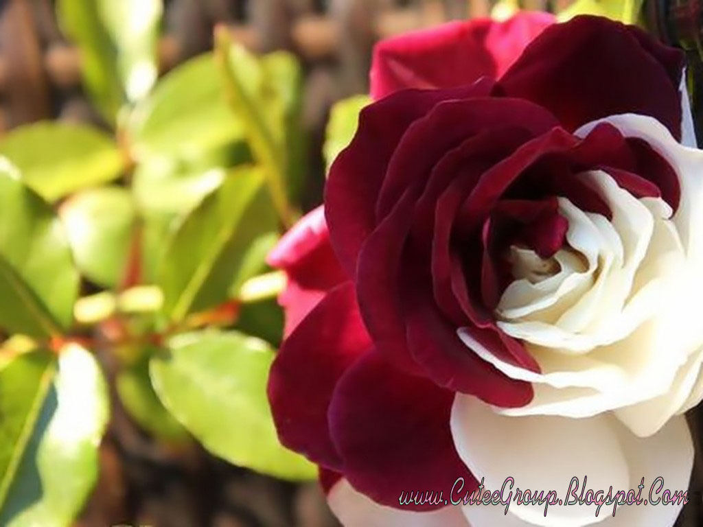 Download Cute Roses Wallpapers The World Of Fun Cutee Group