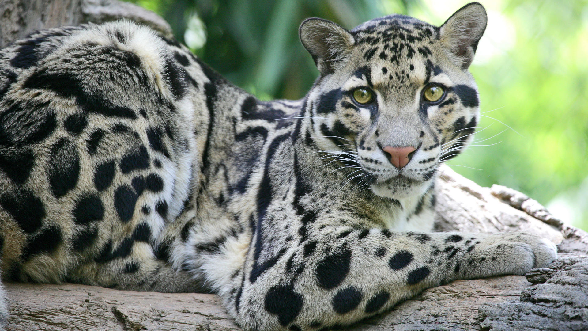 Clouded Leopard Wallpaper Hd Wallpapers Download 1920x1080
