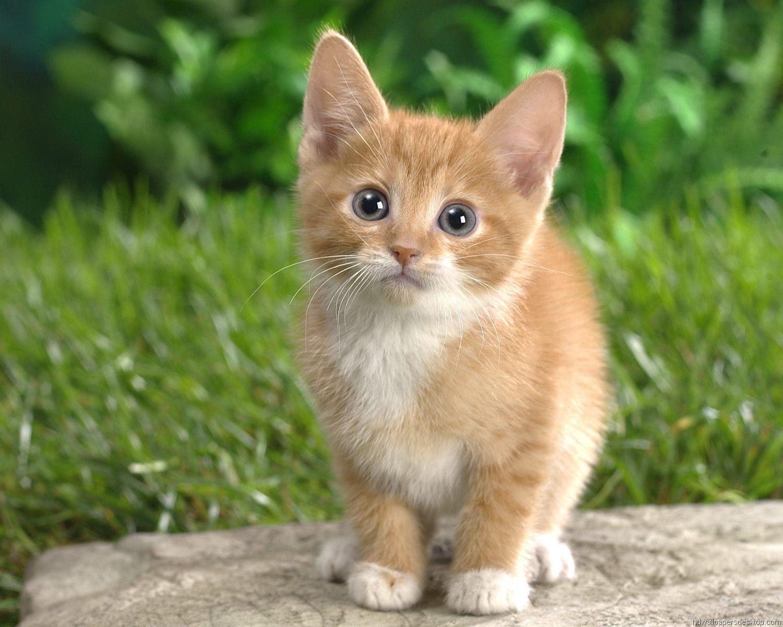 Kitten Wallpaper HD Widescreen