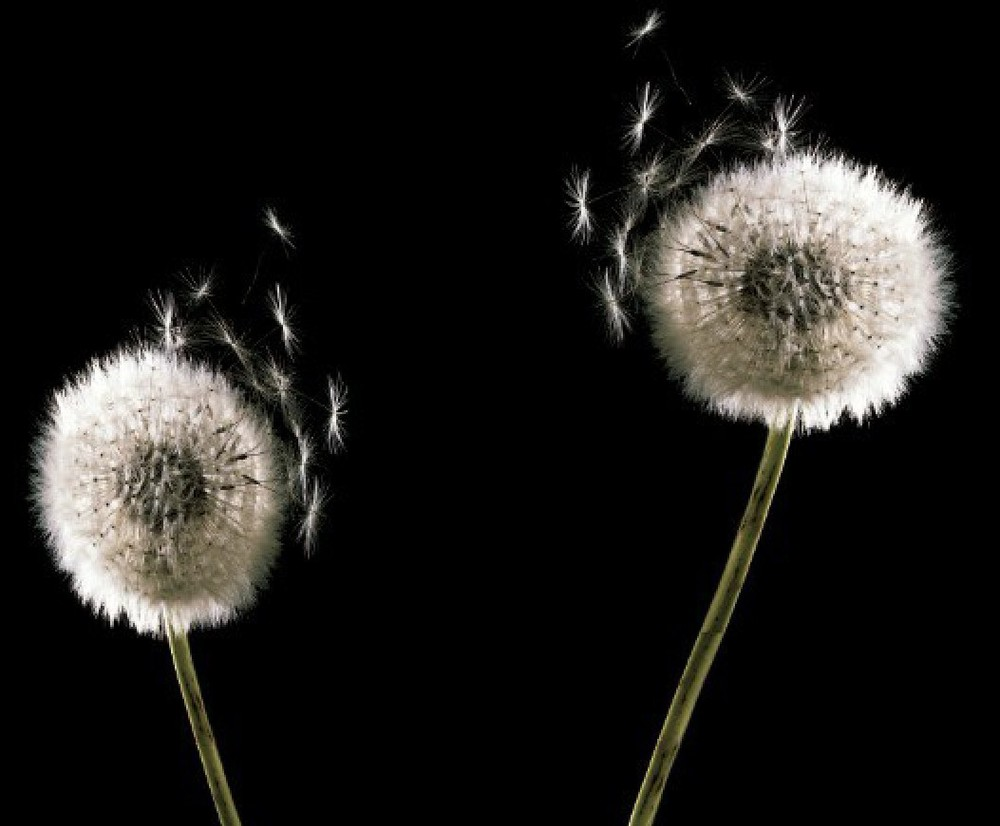 black and white minimalist elegant dandelion wallpaper wallpaper 1000x826