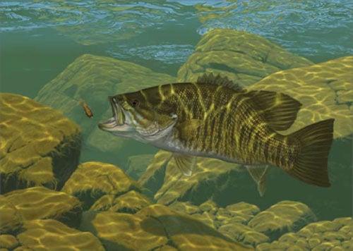 Smallmouth Bass Jumping When i fish for smallmouth i 500x356