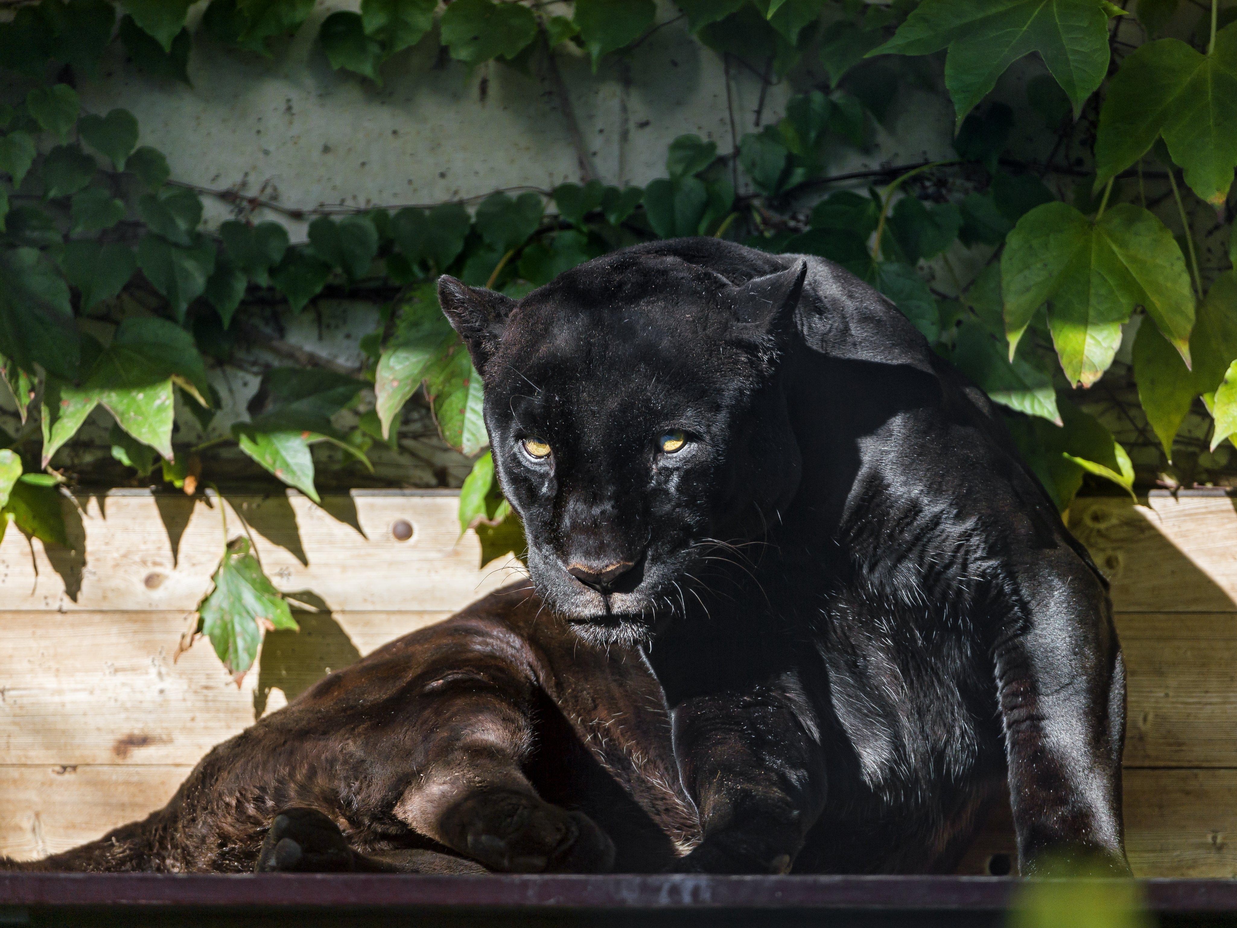 black jaguar cat eyes panther sun Tambako The Jaguar wallpaper 4100x3075