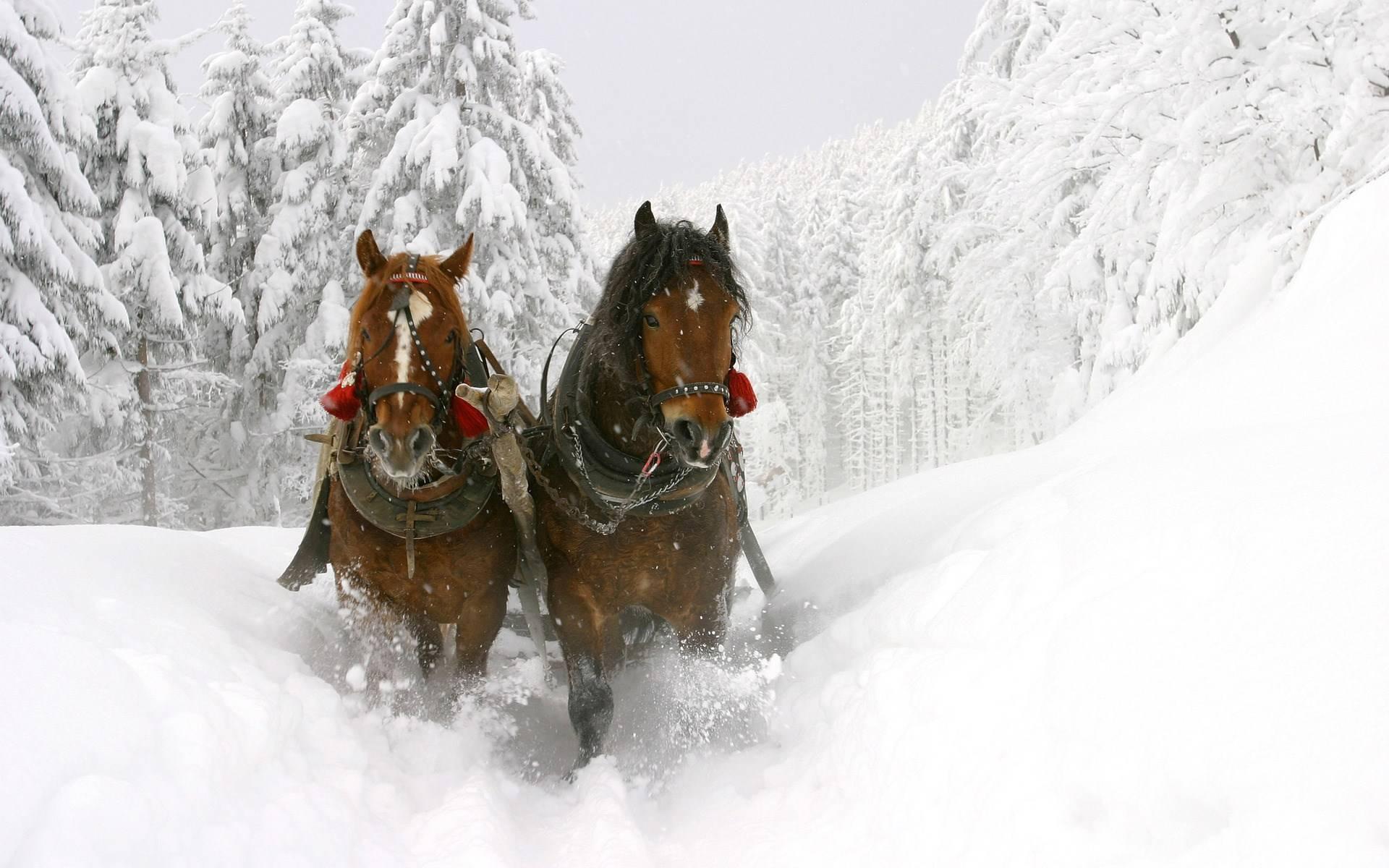 winter beautiful horses   Horses Wallpaper 1920x1200