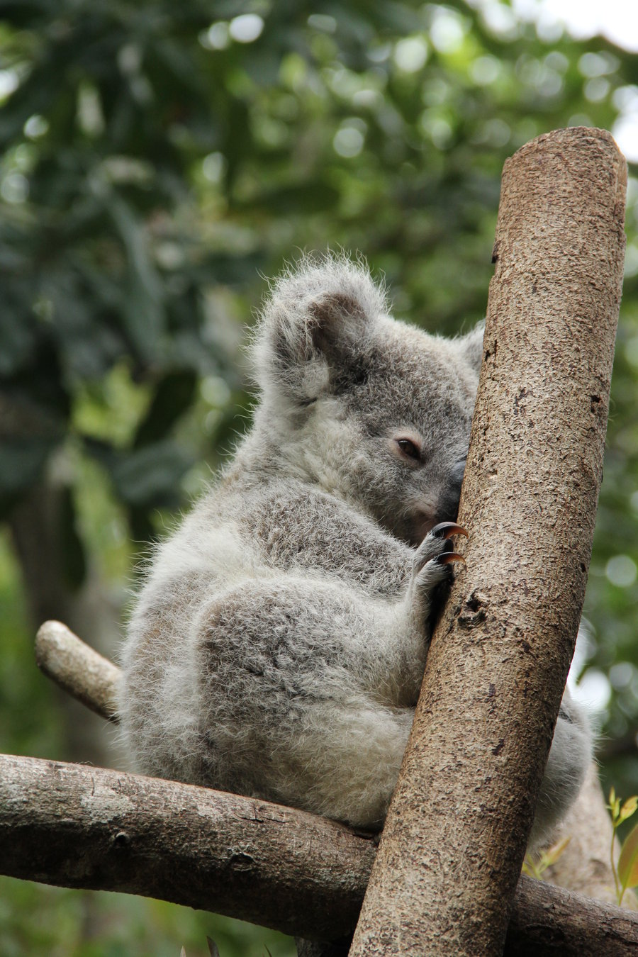 Baby Koala Wallpaper 900x1350
