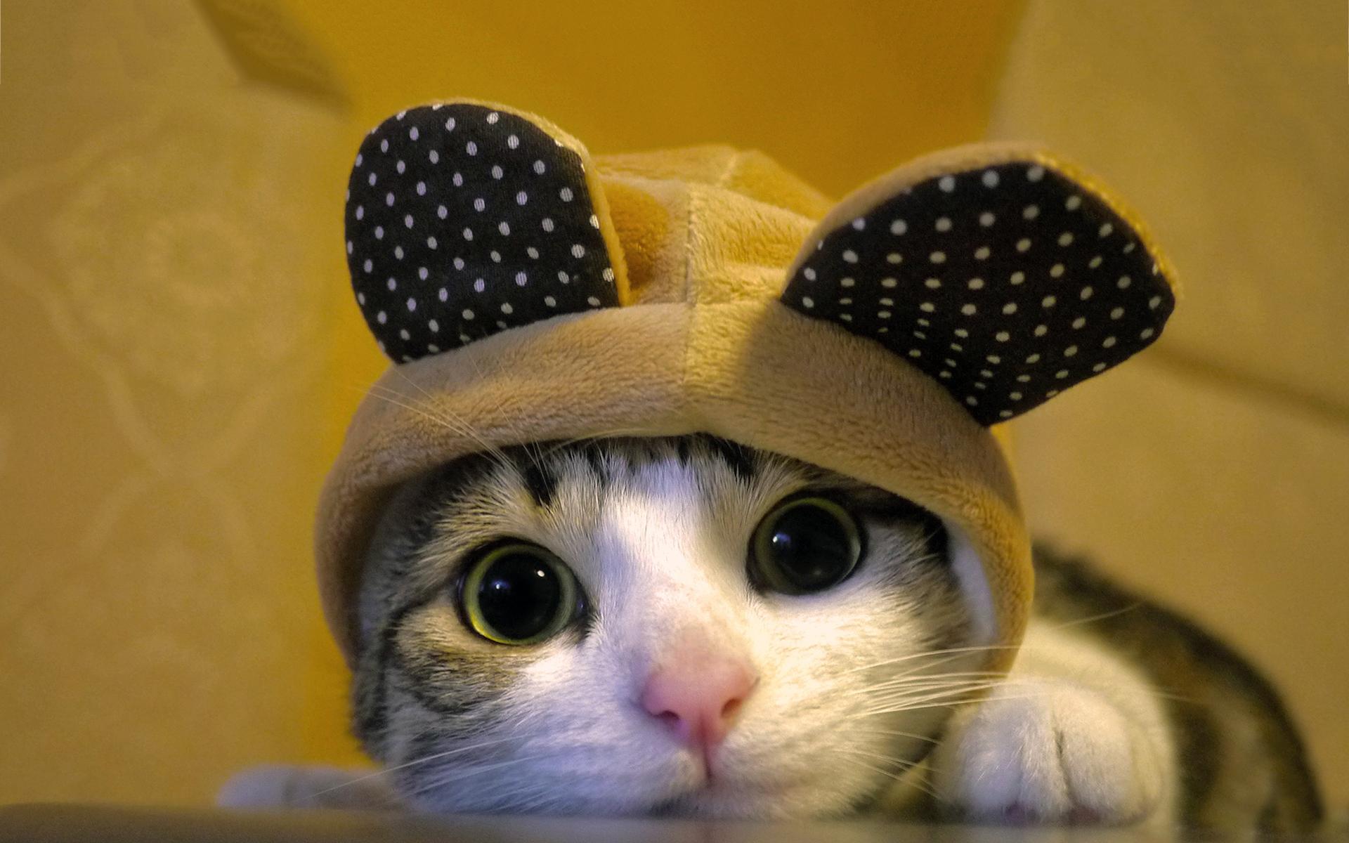 50 Cute Cat Dressed Wallpapers On Wallpapersafari