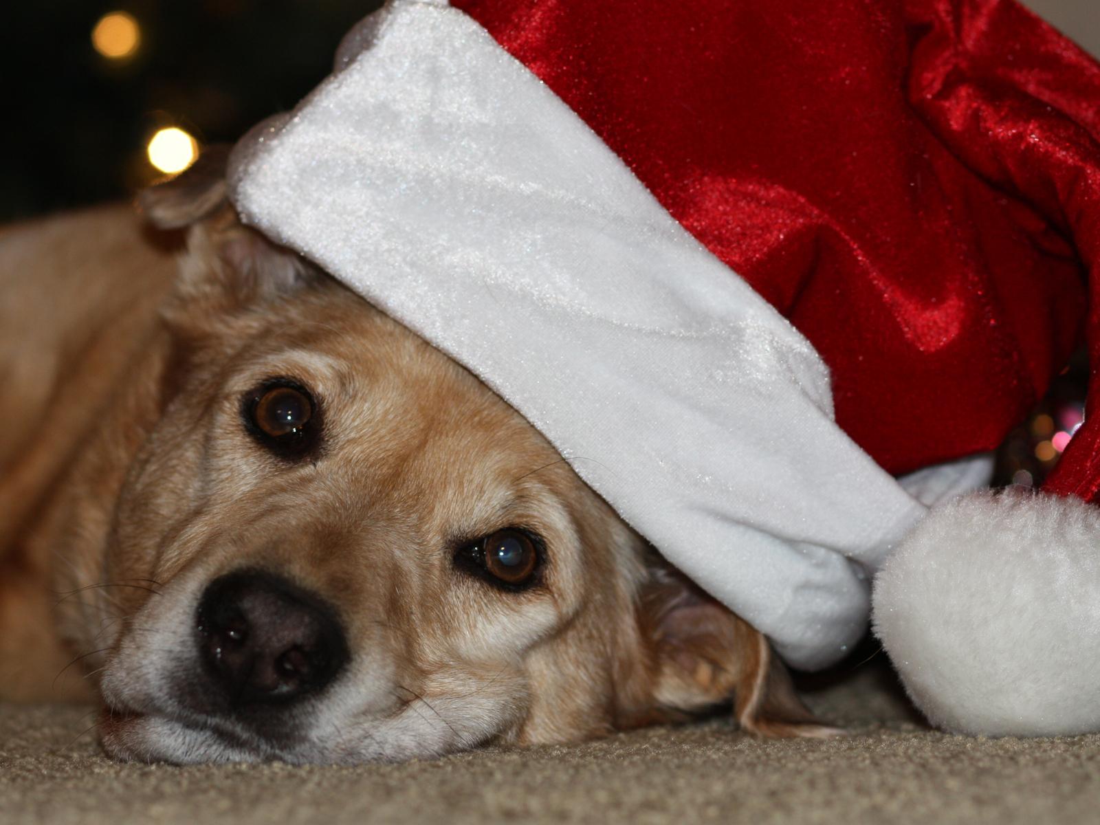 Zamboni is Santas Sleigh Dog 1600x1200