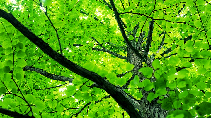 spring tree leaves wallpaper the conservative triangle of propaganda 720x405