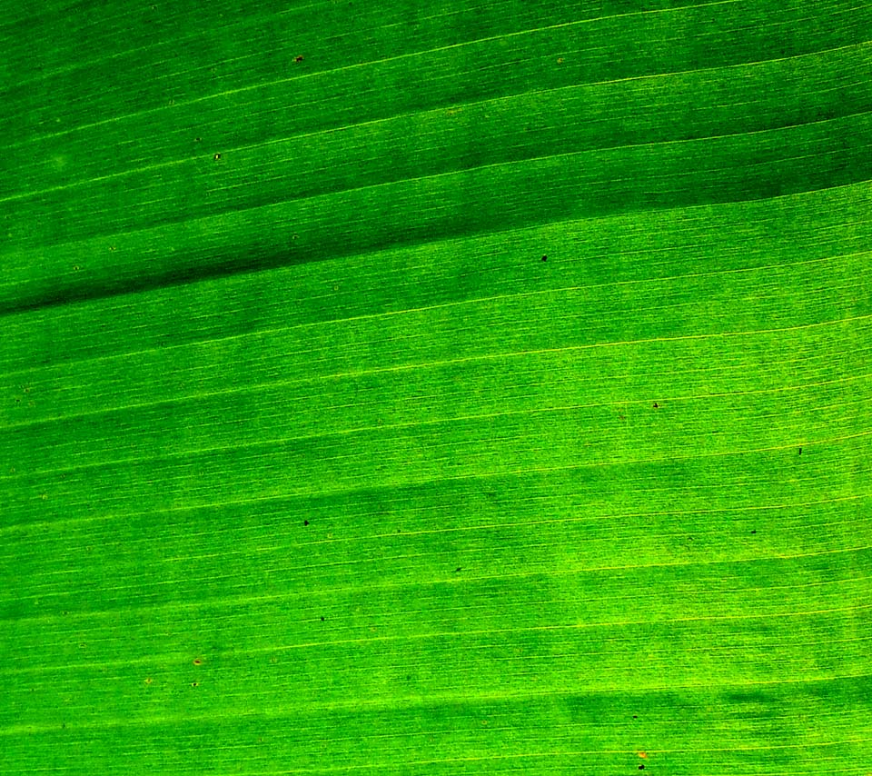 Banana Leaf Wallpaper A back lite banana leaf 960x854
