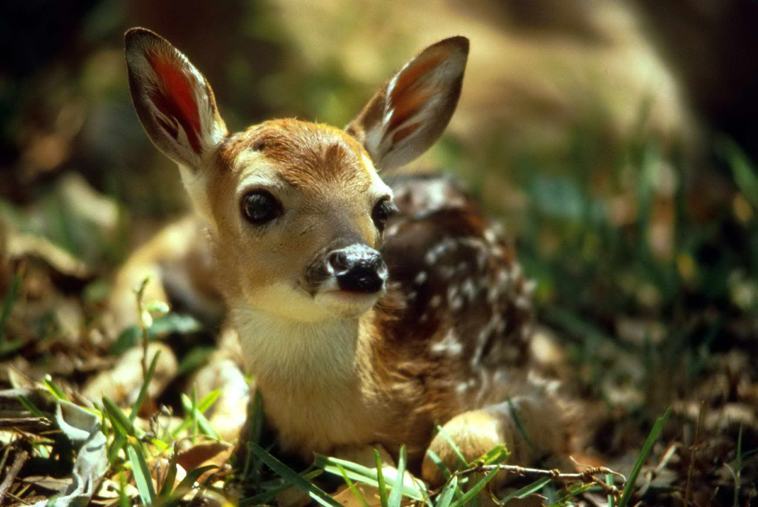 The Wonders of Newborn Fawns 2500x1674