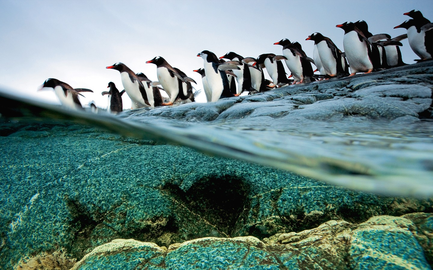 The gentoo penguins of Antarctica queuing Diving 31529   Desktop 1440x900