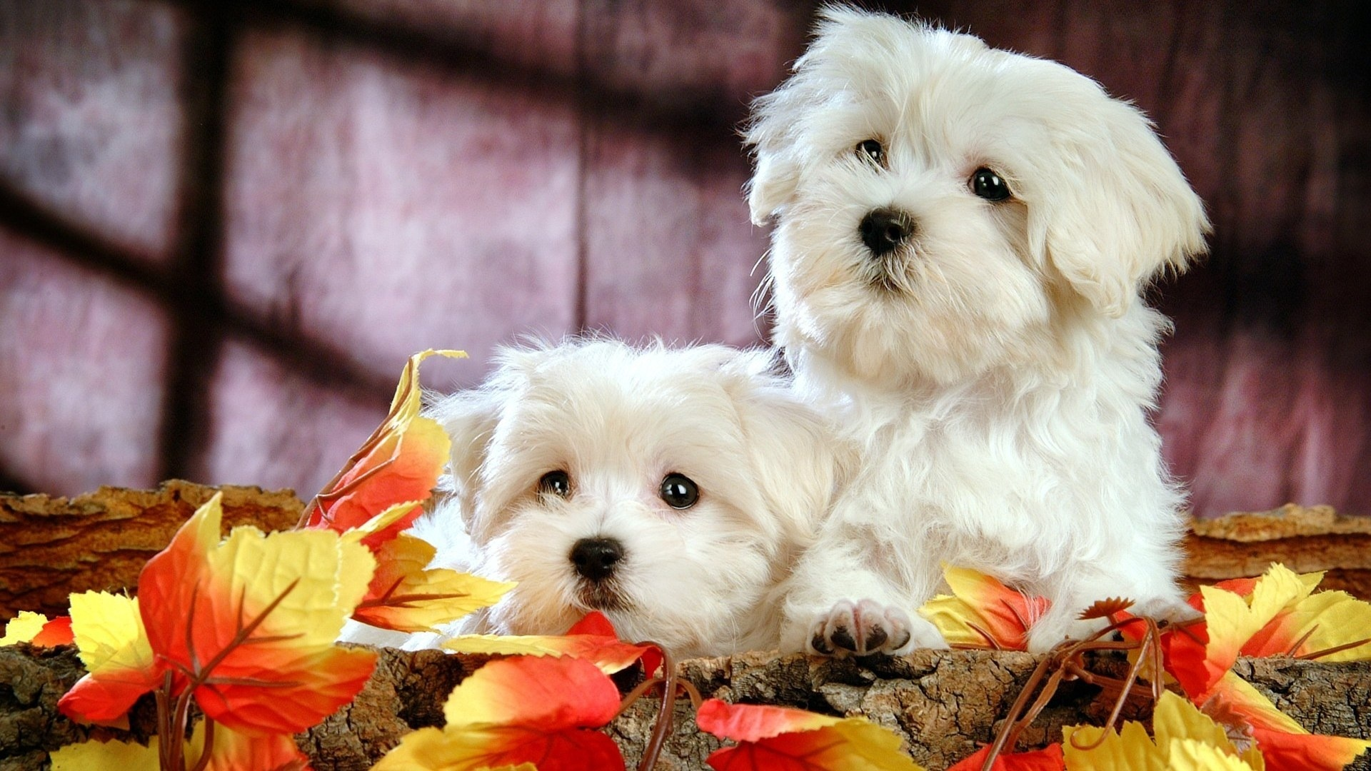 Cute Bichon Puppies HD Desktop Wallpaper HD Desktop Wallpaper 1920x1080