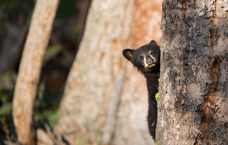 Wallpaper forest nature background tree bear bear bear face 1332x850